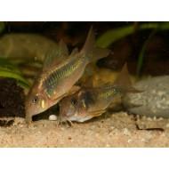 Коридорас золотистый (Corydoras aeneus) - 2-2.5см