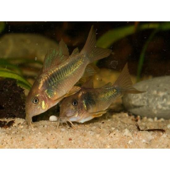 Фото Коридорас золотистый (Corydoras aeneus) - 2-2.5см Смотреть