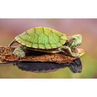 Красноухая черепаха (Trachemys scripta) - 4-5см
