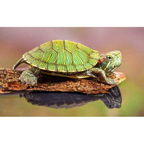 Фото Красноухая черепаха (Trachemys scripta) - 4-5см Смотреть