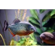Красный паку (Piaractus brachypomus) - 5см