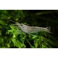 Креветка амано (Caridina japonica) - 2,5-3см