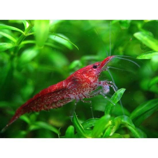 Фото Креветка Черри/Неокардина (Neocaridina heteropoda) - 1-1,5см labeo.com.ua