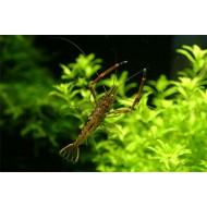 Креветка Макробрахиум (Macrobrachium nipponense) - 2-2,5см
