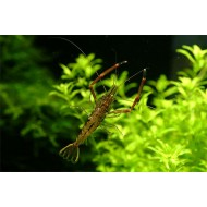 Креветка Макробрахиум (Macrobrachium nipponense) - 3,5-4см