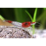 Креветка Рили (Neocaridina Red Rili) - 1-1.5см
