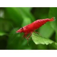 Креветка сакура красная (Neocaridina heteropoda var Sakura red) - 1-1,5см