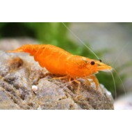 Креветка сакура оранж (Neocaridina heteropoda var Sakura Orange) - 1-1.5см