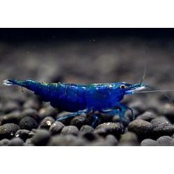 Креветка синий вельвет (Neocaridina Blue Velvet) - 1-1.5см