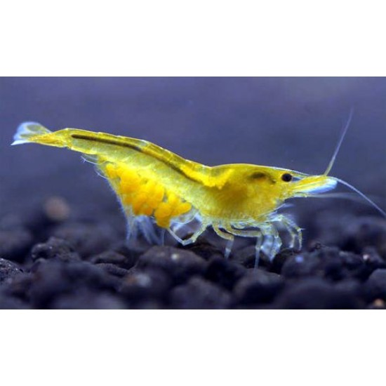 Фото Креветка желтая канарейка неоновая (Neocaridina cf. zhangjiajiensis var. yellow) - 1-1.5см labeo.com.ua