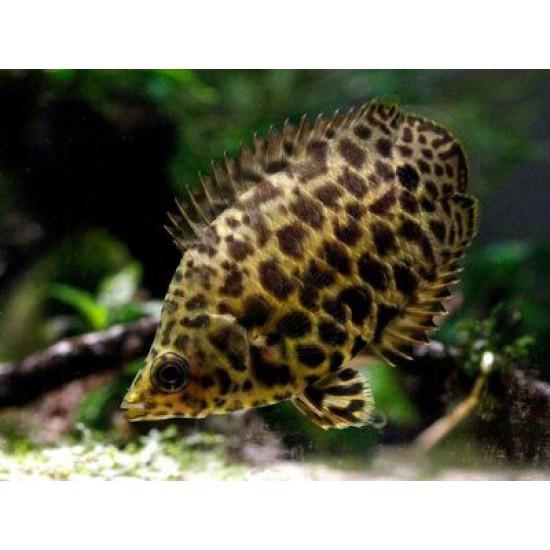 Фото Ктенопома леопардовая (Ctenopoma acutirostre) - 3см Купить