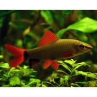 Лабео зеленый (Labeo frenatus) - 3-4см