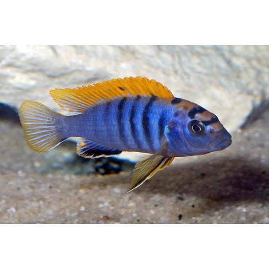 Фото Лабидохромис Хонги (Labidochromis sp. Hongi) - 2см Купить