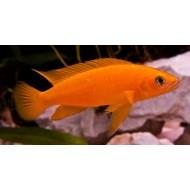 Лампрологус апельсиновый (Neolamprologus leleupi) - 3-4см