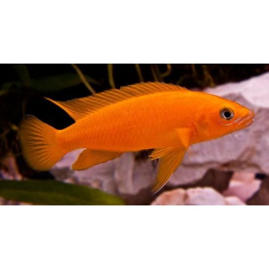 Фото Лампрологус апельсиновый (Neolamprologus leleupi) - 4-5см Смотреть