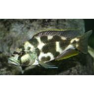 Ливингстон (Nimbrochromis livingstoni) - 5-6см
