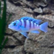 Ломбардо ( Pseudotropheus lombardoi) - 2,5-3см