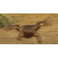 Лягушка карликовая (Hymenochirus boettgeri) - 3см