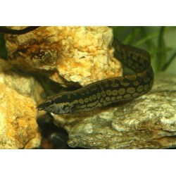 Мастацембел арматус (Mastacembelus armatus) - 15-18см