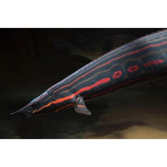 Фото Мастацембел краснополосый (Mastacembelus erythrotaenia) - 20см Купить