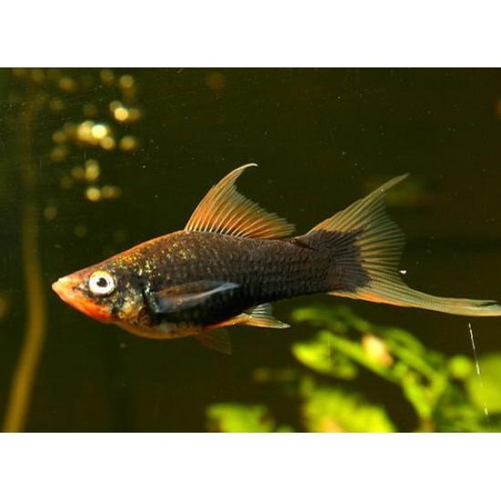 Фото Меченосец черный (Xiphophorus helleri) - 3-4см Смотреть