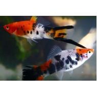Меченосец кои (Xiphophorus helleri) - 3-4см