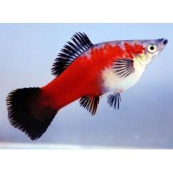 Меченосец красный, красно черный (Xiphophorus helleri) 5-6см