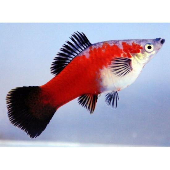 Фото Меченосец красный, красно черный (Xiphophorus helleri) 5-6см Смотреть