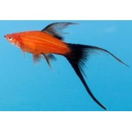 Меченосец красный, красно-черный вильчатый (Xiphophorus helleri) - 4-5см