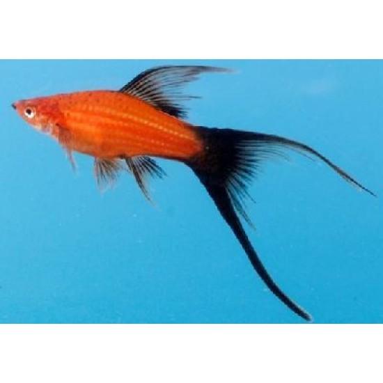 Фото Меченосец красный, красно-черный вильчатый (Xiphophorus helleri) - 3см Смотреть