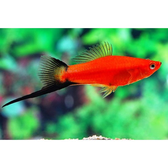 Фото Меченосец красный, красно-черный (Xiphophorus helleri) - 4-5см Смотреть