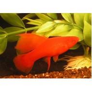 Меченосец красный рубин (Xiphophorus helleri) - 3см