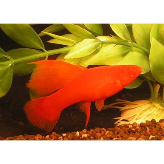 Фото Меченосец красный рубин (Xiphophorus helleri) - 3см Смотреть