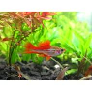 Меченосец радужный (Xiphophorus helleri) - 3-4см