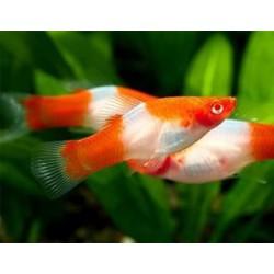 Меченосец санта клаус (Xiphophorus helleri) - 3-4см