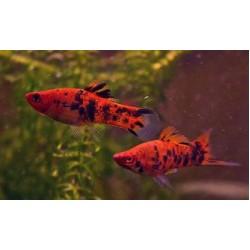 Меченосец тигровый обычный/флаговый (Xiphophorus helleri) - 3-3,5см