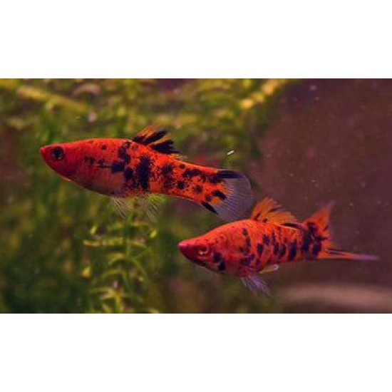 Фото Меченосец тигровый обычный/флаговый (Xiphophorus helleri) - 3-3,5см Купить