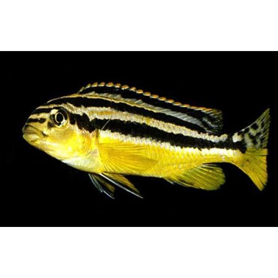 Фото Меланохромис ауратус (Melanochromis auratus) - 3-4см labeo.com.ua