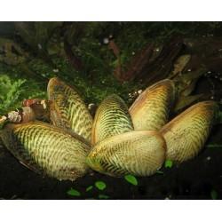 Мидия Криспата (Scabies crispata) - 3-4см