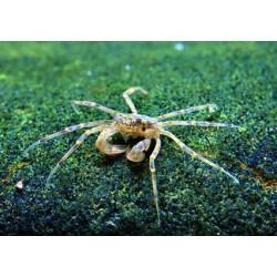 Микрокраб пресноводный (Limnopilos naiyanetri) - 0,5см