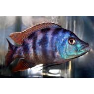 Миломо (Placidochromis milomo) -  2-3см