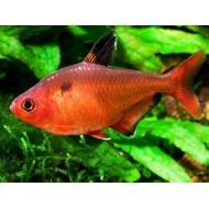 Минор (Hyphessobrycon callistus) - 2-3см