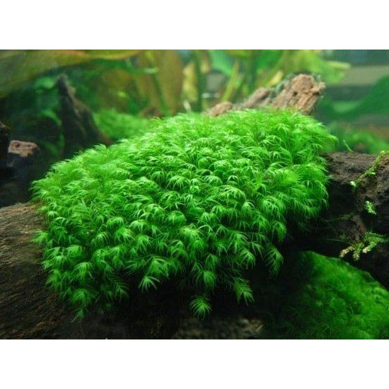 Фото Мох Феникс (Fissidens fontanus) пучек labeo.com.ua