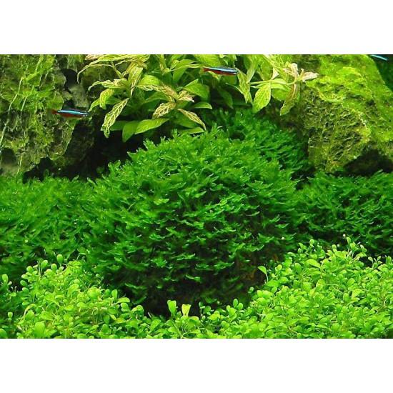 Фото Мох печеночный (Monosolenium tenerum) пучек Смотреть
