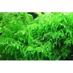 Мох плакучий (Vesicularia ferriei Weeping Moss) пучек