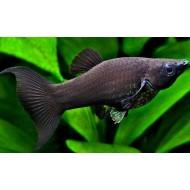 Моллинезия черная обычная, лирохвостая (Poecilia sphenops) - 3-4см