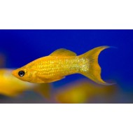 Моллинезия золотая обычная и лира (Poecilia sphenops) - 3-4см