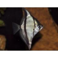Монодактил себа (Monodactylus Sebae) - 5-6см