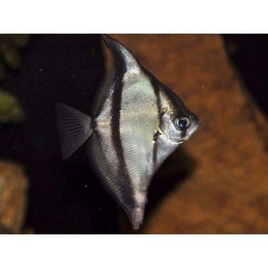 Фото Монодактил себа (Monodactylus Sebae) - 5см Смотреть