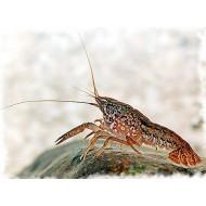 Мраморный рак (Procambarus fallax forma virginalis) - 2-3см